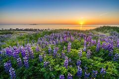 Lupins in sunset (Richard Larssen) Tags: flowers light sunset sea sky sun nature norway zeiss landscape norge sony norwegen richard scandinavia lupins rogaland sele klepp kleppe sonyalpha larssen teamsony richardlarssen sel1635z