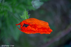poppy 4607 (R-Pe) Tags: show camera abstract canon photo nikon foto fotografie photographie sony picture pic exhibition peter gift bild geschenk ausstellung aufnahme melancholie 1764 rpe rbi 1764org www1764org