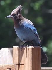 Blue Jay (davebarratt39) Tags: bigsur bluejay pch stellersjay pacificcoasthighway