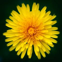Hello, Sunshine (Hadoland) Tags: flower macro nature sunshine yellow canon spring takumar dandelion 55mm taraxacum 1000d