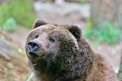 I'm cude and cuddley (RichSeattle) Tags: bear park wild brown nature animal trek fur mammal nikon northwest wildlife reserve d750 grizzly creature habitat naturepark northwesttrek 2016 richseattle