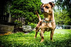 Roxy 5 (pl fas) Tags: dog pennsylvania pug terrier jackrussell shelter roxy kennel jackrussellterrier allrightsreserved adoption berkscounty arl 501c3 animalrescueleague copyright 6666baseball66 jackrussellterrierpug copyright2016 bobbechtelimages copyright2016bobbechtel bobbechtel bbi