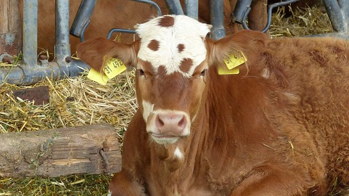 Rinder zwischen Köngernheim und Selzen