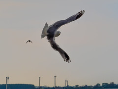 Sturmmoewe (Larus canus) Common gull (g3Tography) Tags: sea birds wildlife gulls baltic ostsee fehmarn fehmarnvgelmwen fehmarnvgelmwen