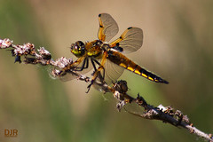 Gold Coloured Dragonfly (robidave) Tags: gold dragonfly odonata