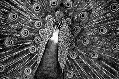 Eyes on me! (Mario Ottaviani Photography) Tags: blackandwhite bw white black nature monochrome beauty animal monocromo eyes peacock natura bn textures occhi bianco nero biancoenero peafowl pavone sonyalpha