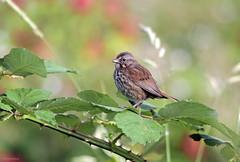 Song Sparrow - IMG_9809a1c8 (Sue Coastal Observer) Tags: bc blackberry britishcolumbia surrey serpentinefen songsparrow melospizamelodia sosp