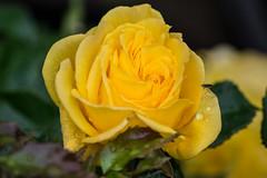 DSC_1159 (peterbaird100) Tags: flower rose yellow