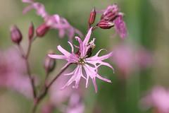 Ragged-Robin! (RiverCrouchWalker) Tags: spring may wildflower essex raggedrobin chelmsford 2016 lychnisfloscuculi chelmervalleylocalnaturereserve