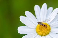 Hover Fly (abritinquint Natural Photography) Tags: nikon d7200 telephoto 300mm pf f4 300mmf4 nikkor teleconvertor tc14eii pfedvr