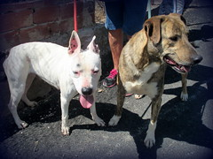 Sophia and Iwo (iravande) Tags: pets dogs spain perros mixture javea amstaf dogpound perrera espanja nokillshelter apasa