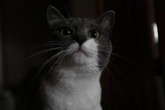 La Joy, mooolto pi pericolosa del leopardo...   :)) (carlo612001) Tags: look cat kitten feline joy gatto gattina micia