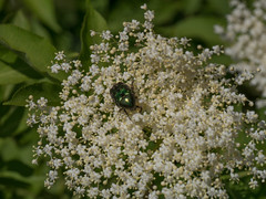 Cetonia aurata (peter_paul52) Tags: sachsen coleoptera cetoniinae