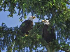 IMG_9949 (Steve Elston) Tags: birds bald eagles