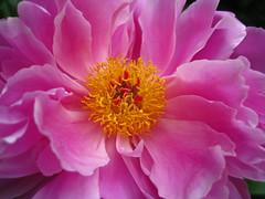 peony (VERUSHKA4) Tags: flora pink album moscow russia europe canon botanic garden park vue view summer june peony macro beautiful pistil stamen
