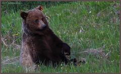 Lean Back (CrzyCnuk) Tags: canada canon wildlife alberta grizzly grizzlybear canon6d