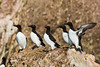 Line up of Common Murres (vagabond05) Tags: gaspepeninsula canada2016