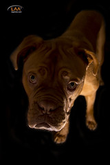 It Wasn't Me! (Larrie Barlow) Tags: lighting portrait dog de bordeaux barlow dogue larrie doguedebordeaux