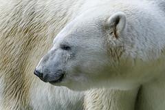 profile smile (ucumari photography) Tags: bear smile animal june mammal zoo oso nc north polarbear carolina anana eisbr ursusmaritimus oursblanc 2016 osopolar ourspolaire orsopolare specanimal ucumariphotography sbjrn dsc7337