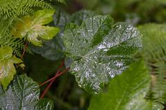 Glenariff Forest Park (ghostwheel_in_shadow) Tags: ireland tree wet water leaf flora europe unitedkingdom sycamore northernireland deciduous moisture damp ulster antrim moist broadleaf wetness glenariffforestpark