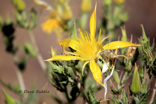 Blazing Star Wildflower