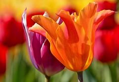 the return (armykat) Tags: tulipalooza2016 tulipalooza tulips longwoodgardens kennettsquarepennsylvania flowers natureycrap floral petals flowerbed garden gardens