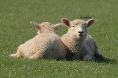 Lambs (Wally Llama) Tags: friends cute spring close fluffy cuddly lamb mintsauce canon1d ef100400l