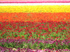 Color Layers at the Flower Fields (TheJudge310) Tags: california pink flowers red orange white green yellow rainbow purple april fields carlsbad 2012 theflowerfields canonpowershota3300is