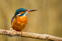 Kingfisher (Novisteel) Tags: birds spring flickr wildlife kingfisher specanimal birdperfect ngdphotos