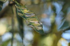(louisa_catlover) Tags: park plants green nature garden native bokeh australian australia melbourne victoria balwyn australiannativeplants bokehwhores maranoagardens