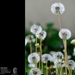 il pi alto (paolo.benetti) Tags: nikon sigma fiori 70300mm prato giardino d300 soffione
