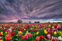 Sunset Over Wooden Shoe Tulip Farm - HDR (David Gn Photography) Tags: flowers sunset sky plants colors field clouds oregon season landscape spring tulips dusk bulbs hdr tulipfestival woodburn woodenshoetulipfarm 3xp canoneos60d sigma1020mmf35exdchsm
