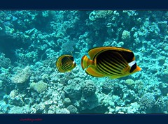 Giallo sotto il Mar Rosso - Yellow under the Red Sea (Explore 2012-03-23 #341) (Jambo Jambo) Tags: sea mare underwater redsea egypt sharmelsheikh snorkeling reef egitto corals butterflyfish barrieracorallina marrosso coralli bandedbutterflyfish pescefarfalla grandemaregroup jambojambo mygearandme mygearandmepremium mygearandmebronze mygearandmesilver mygearandmegold pescefarfallafasciato mygearandmeplatinum samsungwp10 slashedbutterflyfish