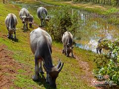 Water Buffalos - Beng Mealea.jpg