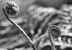 Farn #2 (efgepe) Tags: bw fern macro pflanzen april makro schwarzweiss farn 2012 dryopteris erythrosora silverefexpro