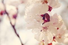 cherry blossom n.2 (Eleonora Dolara) Tags: pink flower nature closeup canon spring soft pastel softness rosa tenderness springlight pastelcolors softcolor edolara eleonoradolara
