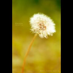 Cotton   Dandelion (XPRO1 Jpeg file) {explored} (dominikfoto) Tags