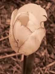 Tulipe (MUMU.09) Tags: nature photo foto tulip di bild nero  tua tulipa imagem tulipe tulpe spia  coklat tulipano  seppia tulp warna  tulipn flori   tulpan       sepya    lle  mu      parcfloraldevincennes  nu szpia     spie       tiilipe dkkbrnn  mkizi