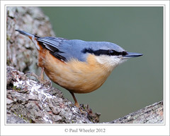 Just Another Nutter! (Paul_Wheeler) Tags: uk blue orange bird nature woodland grey britain wildlife peach devon chestnut british slate avian sittaeuropaea stover treel europaea sitta avianexcellence
