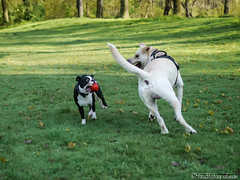 Dogs playing 25.04.2012