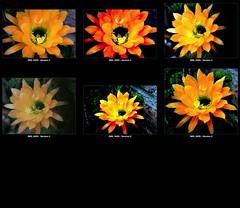 Mosaic :: FX Cactus Flower 2012 :: Tucson Arizona :: Screen Shot 2012-05-03 at 4.49.51 AM (Chic Bee) Tags: arizona cactus usa southwest flower collage tucson mosaic 2nd sonorandesert 2012 alhambradesertgarden