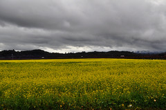 Sweet Grass Field (janetfo747 ~ Dreaming of Africa) Tags: california sky usa storm field yellow day cloudy sonoma sweetgrass