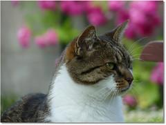 Minet the Cat (Mystycat =^..^=) Tags: cat chat gato bestofcats kittyschoice catmoments catnipaddicts coth5 minetthecat