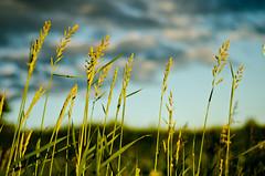 Tall Grass (B.Bubble) Tags: blue light sunset summer sky plant green field grass clouds vermont wind grow