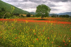 Poppy Tree 1 (marcovdz) Tags: flowers france tree field fleurs poppies provence arbre hdr champ coquelicots 3xp banon