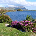"Rhododendrons by Lough Fee <a style=""margin-left:10px; font-size:0.8em;"" href=""http://www.flickr.com/photos/89335711@N00/7467177712/"" target=""_blank"">@flickr</a>"