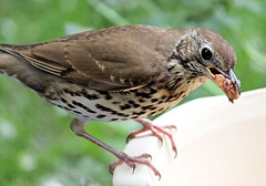 A very Trusting Song Thrush (Judy's Wildlife Garden) Tags: songthrush feedingbowl judykennett knightonpowys averytrustingsongthrush