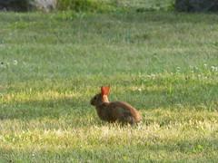 Bunny (Littlerailroader) Tags: rabbit bunny bunnies animals massachusetts newengland wakefield rabbits wakefieldmassachusetts