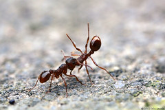 at the local ant throwing contest (Insect~O~Saurus) Tags: light macro nature scotland natural naturallight handheld redant mpe65mm canoneos5dmarkii july2012 recordr:determiner=iainlawrie recordr:count=2 recordr:gridref=nj91873955 recordr:species=myrmicarubra