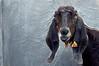 portrait of a goat (puthoOr photOgraphy) Tags: 50mm sheep goat dk lamb qatar lightroom d90 anglonubian nikond90 lightroom3 lopearedgoat amazingqatar puthoor gettyimagehq puthoorphotography rabbitgoat